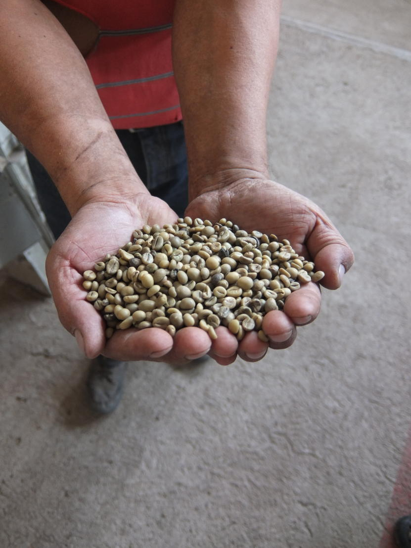 Indigenous coffee farmers rely on traditional methods to produce superior beans.