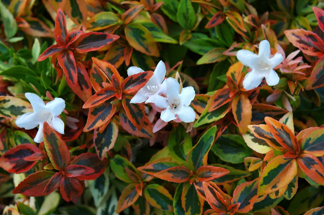 Abelia Kaleidoscope (photo credit Pike Nurseries)