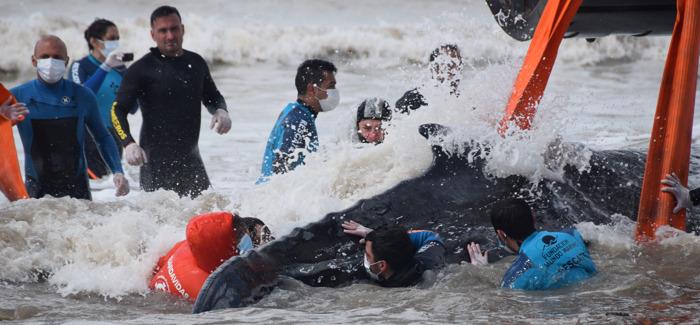 Preview: En menos de 48 horas logran salvar a dos ballenas varadas en la costa bonaerense