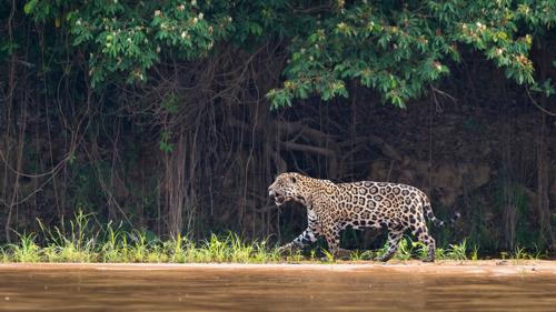29 november = Internationale dag van de jaguar (en die komt geen dag te vroeg)