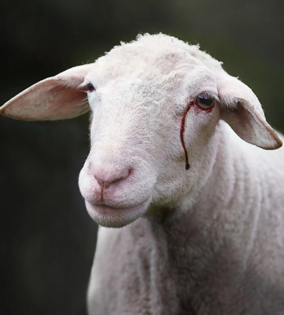COUR D'APPEL DE BRUXELLES: l'affiche GAIA du mouton avec une larme de sang n'incite pas à la haine et à la violence