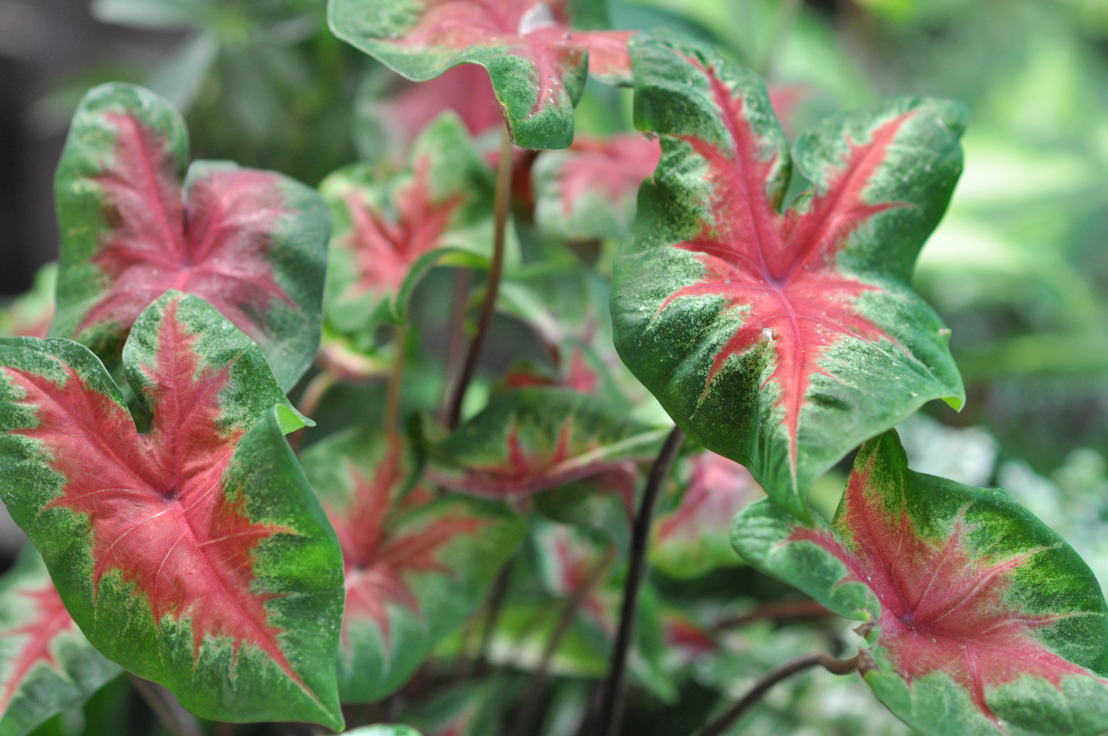 Caladium (photo credit Pike Nurseries)