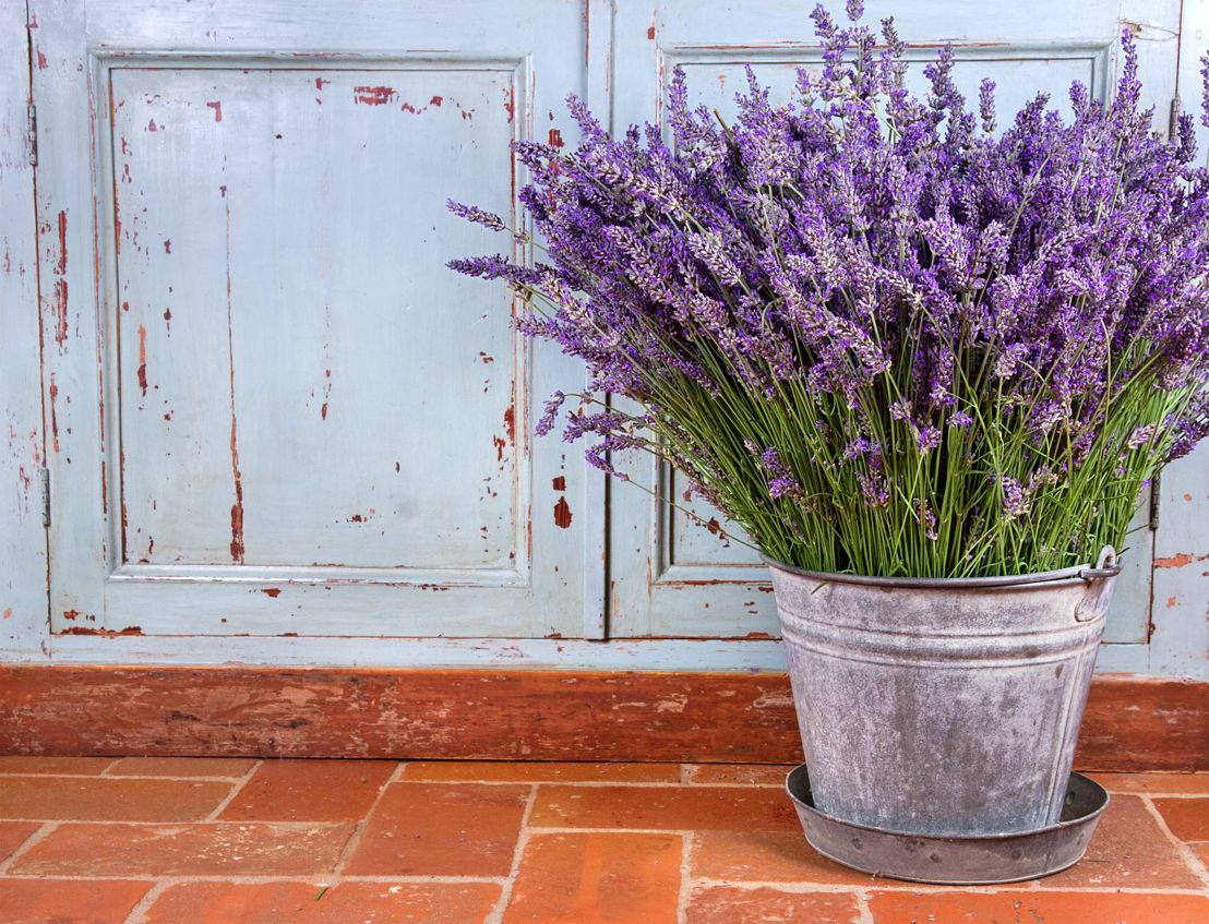 Lavender (photo credit Pike Nurseries)