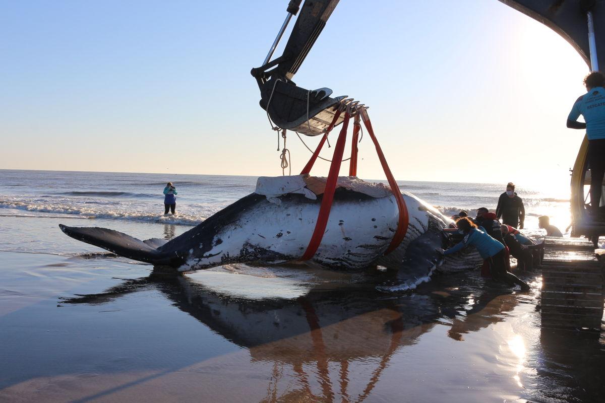 Intentos por reintroducir a la segunda ballena encallada
