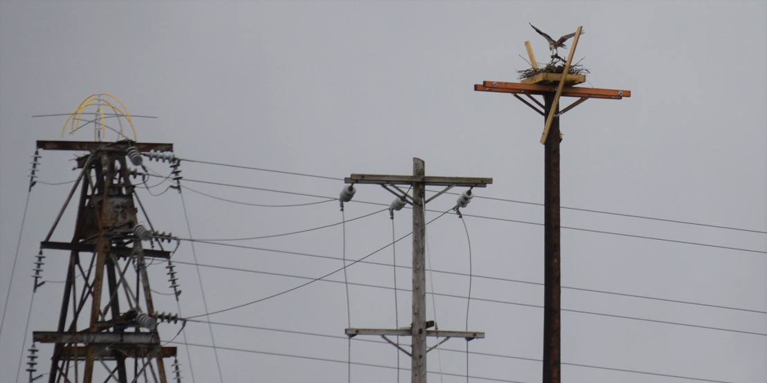 Osprey Nest Moved to New, Safer Heights