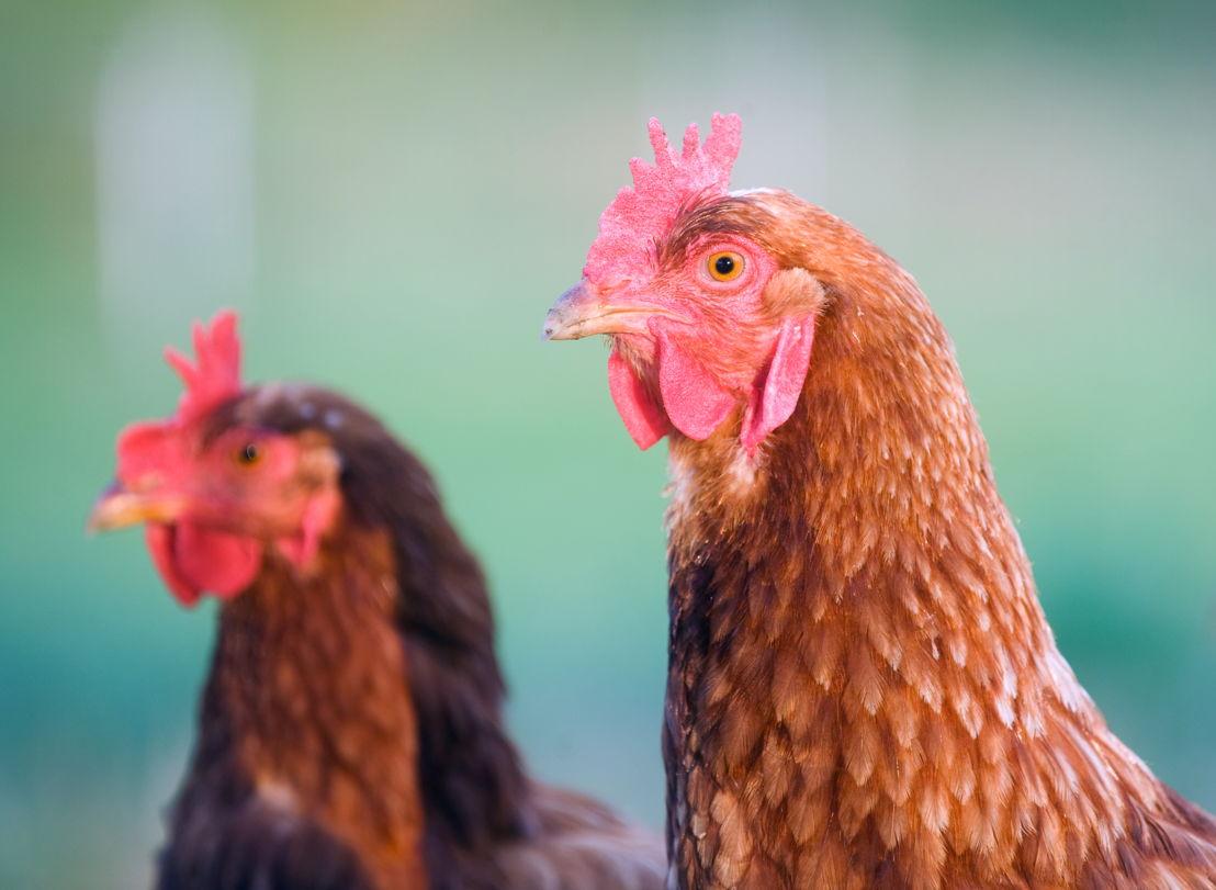 Il pollo italiano non ha ormoni