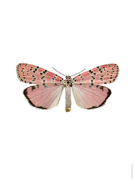 Utethesia Orantrix Bella 34€