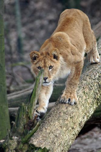 Reactie GAIA op doodgeschoten leeuwin: