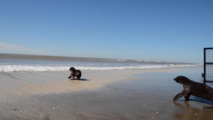 Otra oportunidad para tres lobos marinos rescatados en el Partido de la Costa