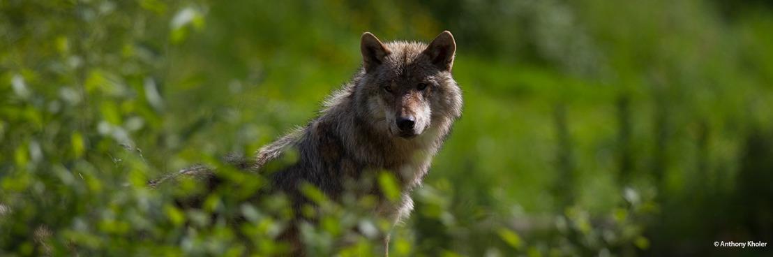Un plan de gestion wallon pour le loup