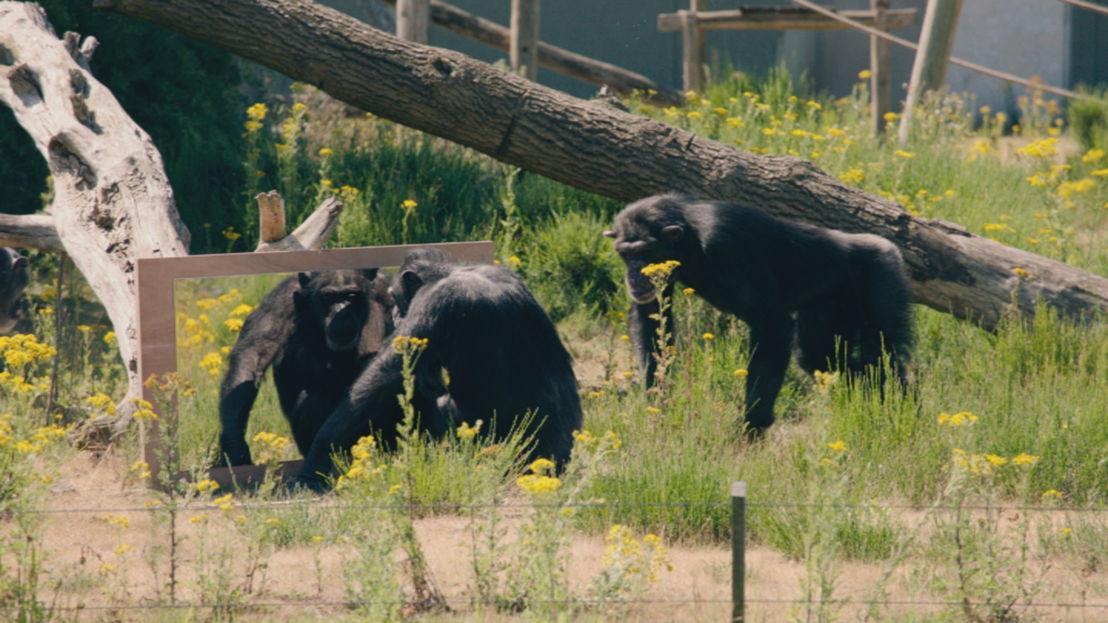 Aflevering 8: de chimpansee- sociale intelligentie