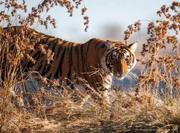 Preview: Le tigre bientôt de retour au Kazakhstan après de longues années d'absence
