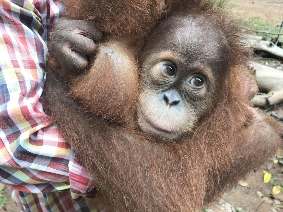 Baby orangutans cuddling at the Centre for Orangutan Protection