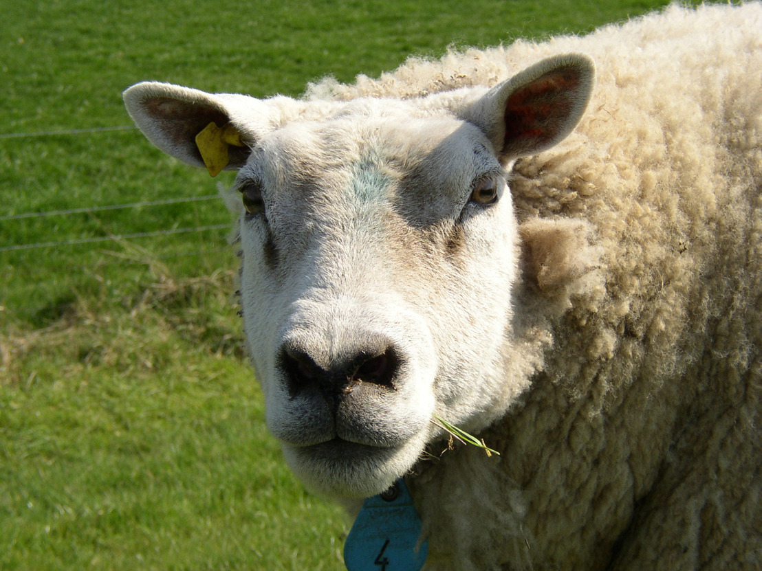 La Région bruxelloise n'organisera plus de site d'abattage temporaire pour l'abattage sans étourdissement