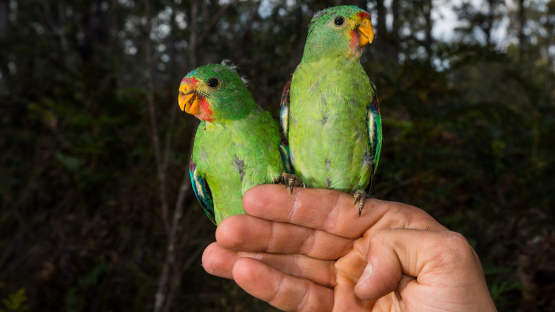 Swift action needed to help critically endangered parrot