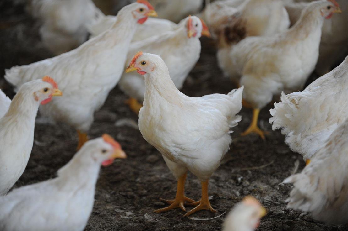Il pollo italiano è allevato a terra