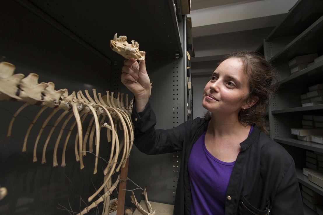 ANU PhD scholar Shimona Kealy holds a Tasmanian Devil skull. Image credit: Stuart Hay, ANU