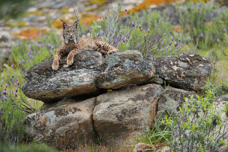 Lynx in Spain - (photo credit: Pete Oxford)