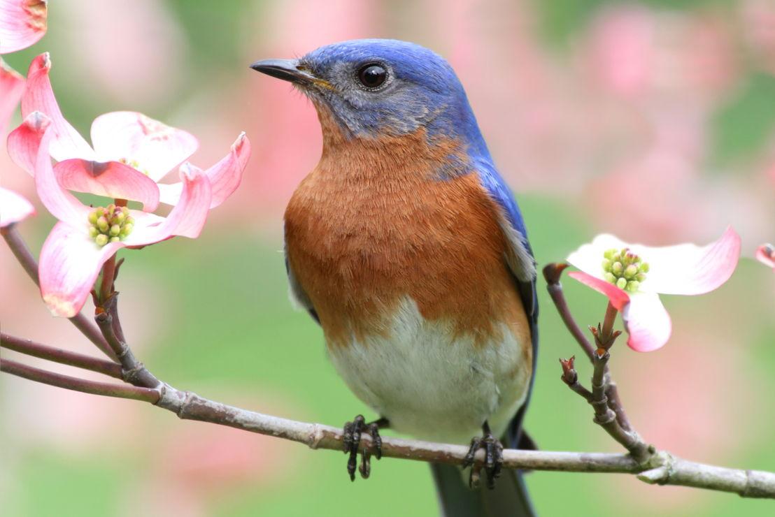 Pike Kid Series -Birds; Bluebird (photo credit Pike Nurseries)