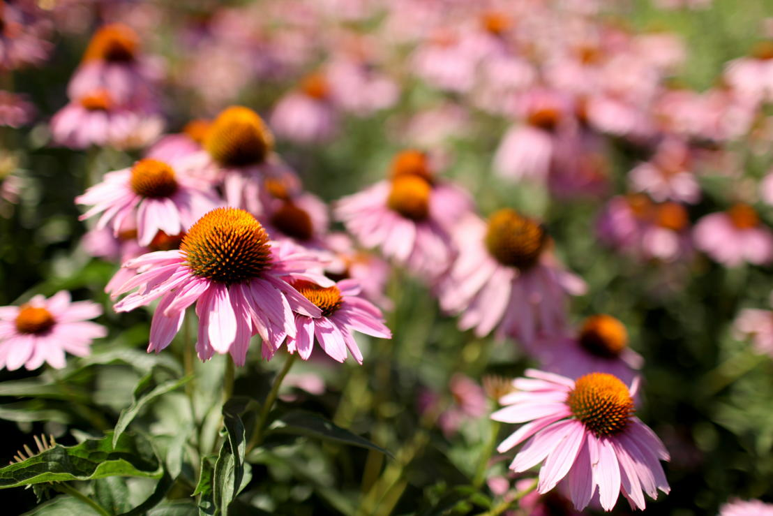 Echinacea coneflower (photo credit Pike Nurseries)