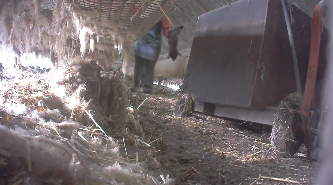 Beelden Animal Rights van wrede nertsenvergassing bevestigen noodzaak verbod pelsdierkweek voor bont