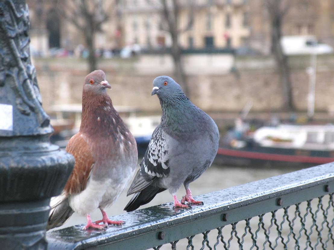 Mauvaise gestion des populations de pigeons par la Ville de Charleroi malgré les solutions plus respectueuses des animaux
