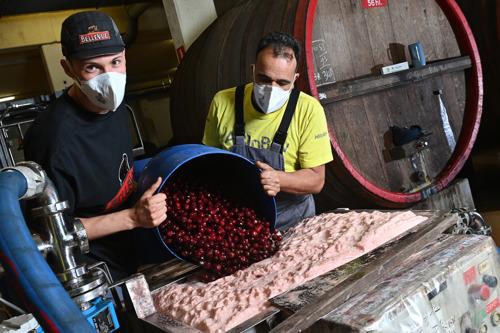 Hoogdag voor brouwerij Belle-Vue: Belgische krieken komen aan in Sint-Pieters-Leeuw