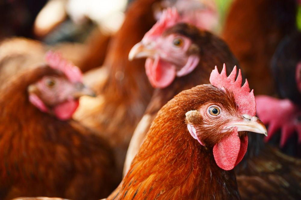 Allevamenti pollo