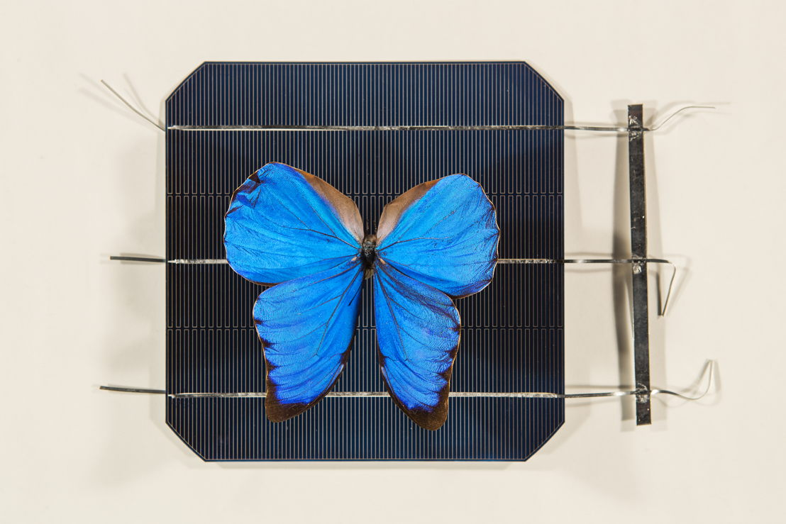 A blue Morpho butterfly on top of a solar cell. Image: Stuart Hay, ANU.