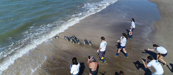 Gracias al esfuerzo de una comunidad, 12 pingüinos regresaron al mar
