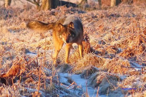 Le loup des Hautes Fagnes s'appelle Akela