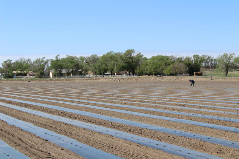 Field freshly planted with cantaloupe seed