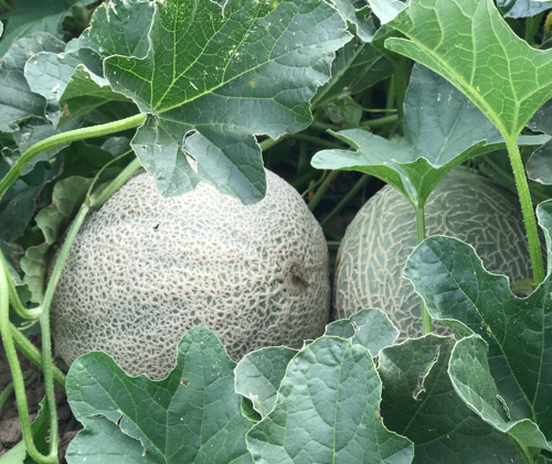 The countdown to Rocky Ford Cantaloupe season is on!