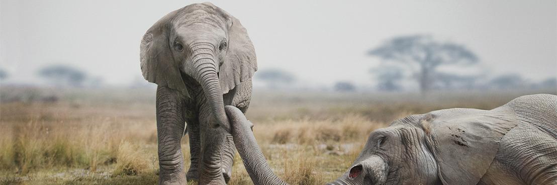 Sans action urgente, l'éléphant d'Afrique disparaîtra dans 20 ans