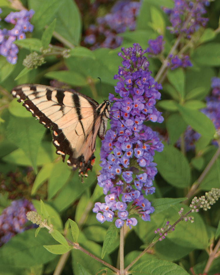 Butterfly on butterfly bush (photo credit Pike Nurseries)