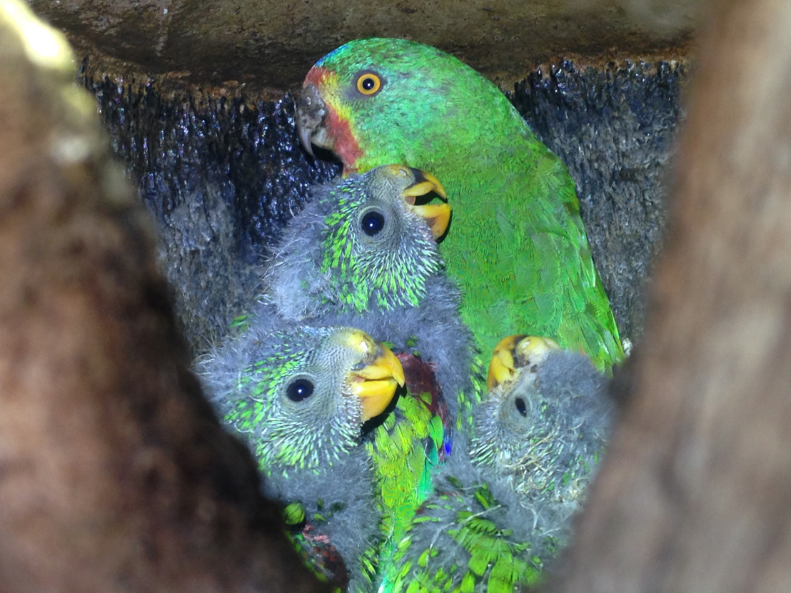 Study counts the high cost of infidelity for swift parrots