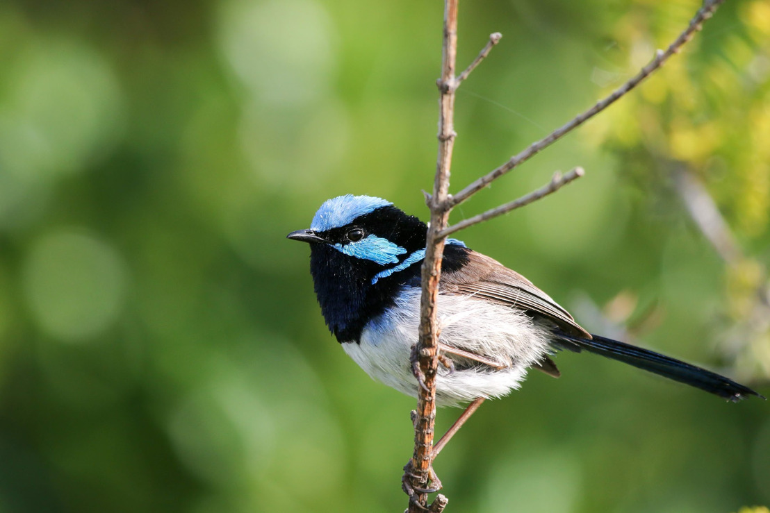 Eavesdropping fairy-wrens learn by listening in