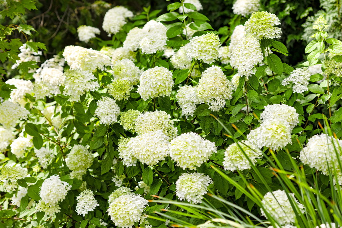 'Limelight' hydrangea monrovia (photo credit Pike Nurseries)