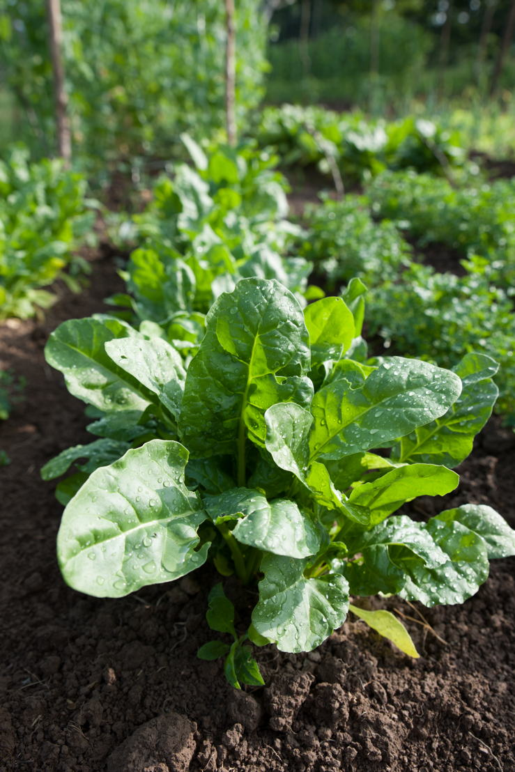 Spinach in the garden - Growing Own Food (photo credit Pike Nurseries)