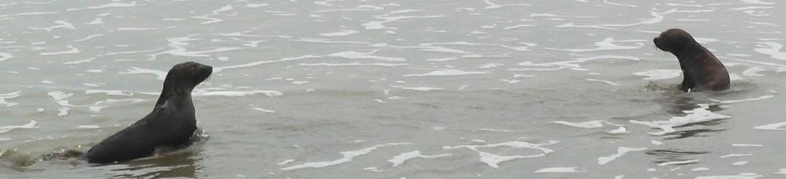 Juntos y a la par: la historia de dos lobos marinos que regresaron al mar