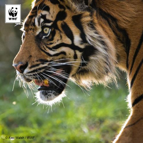 Vietnam en alle landen uit de regio moeten tijgerkwekerijen sluiten tegen 2019