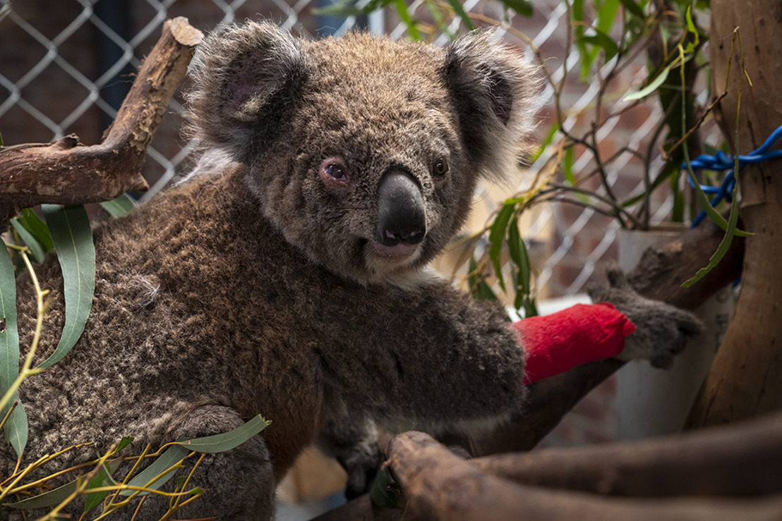 ANU raises dollars for down and out 'drop bears'
