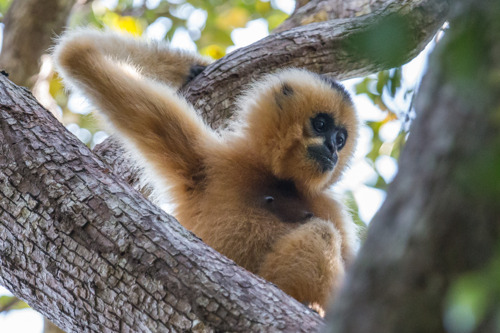 No ape jape: gibbons need protection from COVID-19 too