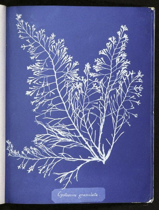 Photographs of British Algae: Cyanotype Impressions (1843)