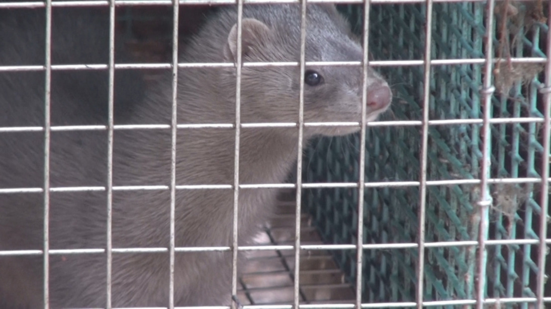 Flemish Parliament approves ban on fur farming and force feeding