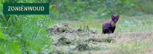 Zeldzame boommarter keert terug naar Zoniënwoud