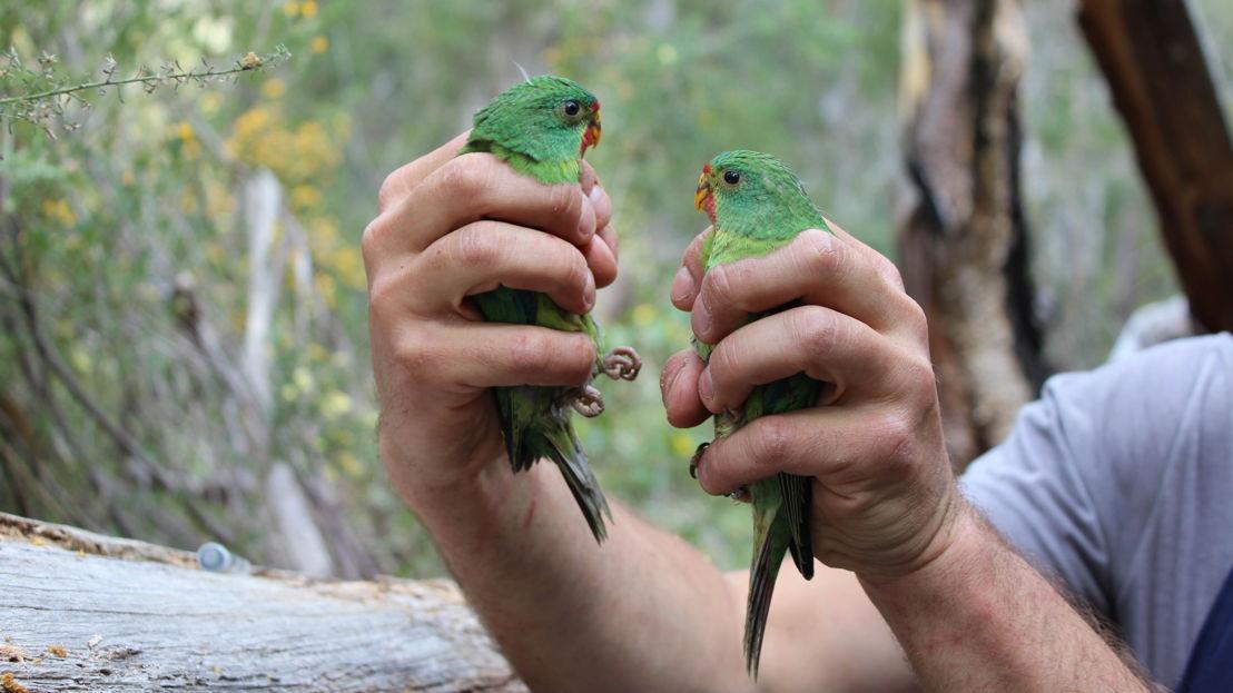Swift parrots. Image: Kate Prestt, ANU