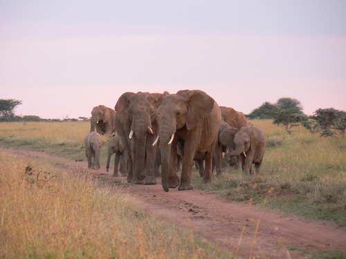 Elephants essential for sustainable management African savanna