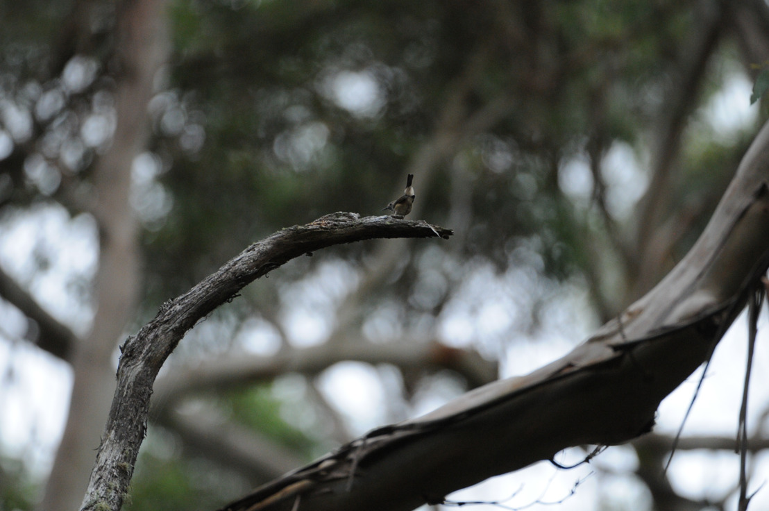 Critically endangered birds still alive on King Island: ANU research