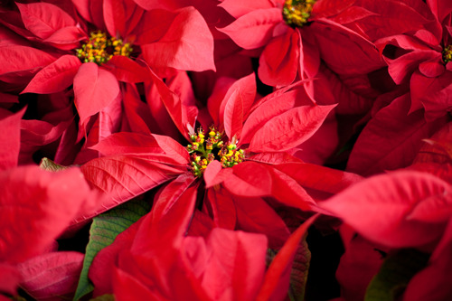 Pike Nurseries to ring in the holiday season with Christmas Garden Party, November 29